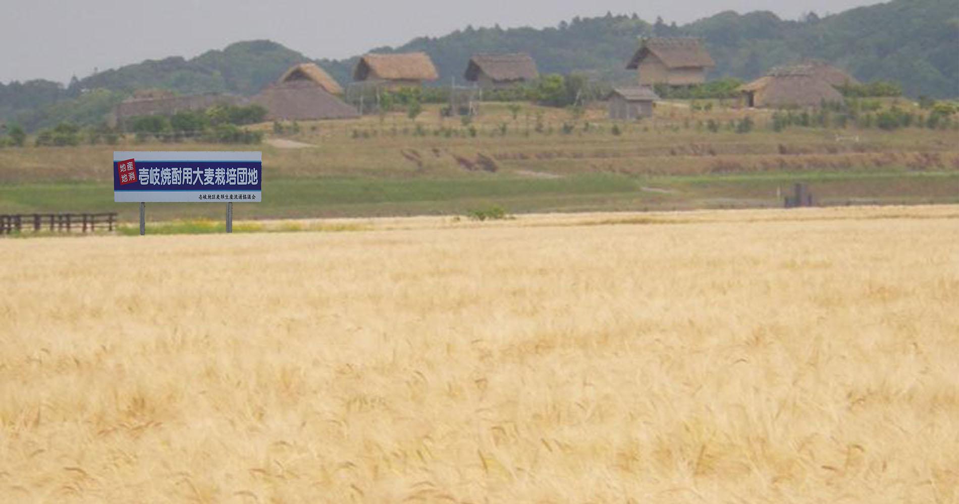 壱岐焼酎の原料となる麦畑